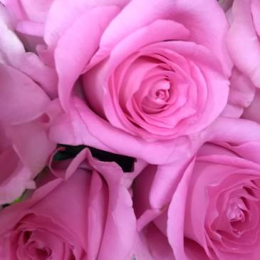 Розови рози